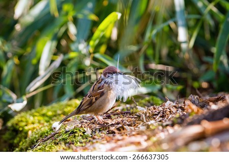 Sparrow (Passer montanus) collects material for building a nest  - stock photo