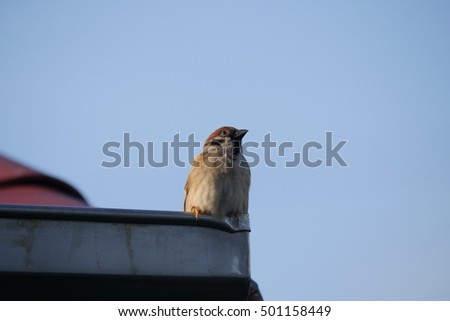 sparrow perched on a roof gutter in the city ,bangkok thailand