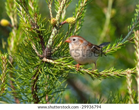 Sparrow sitting in a Pine tree during Spring - stock photo