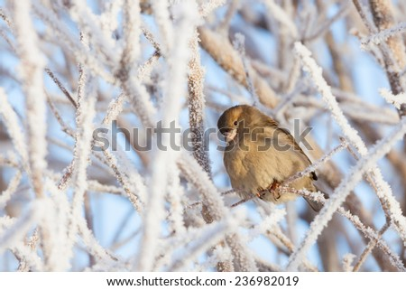 Sparrow sitting in frost bush - stock photo