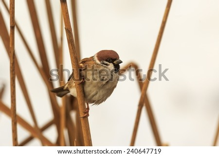 sparrow sitting in the reeds - stock photo
