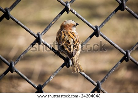 Sparrow sitting on an iron fencing