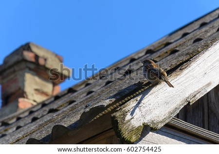 Sparrow sitting on the edge of the roof of a village house is made of slate