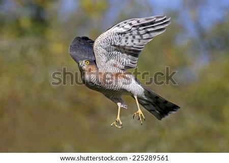 Sparrowhawk, Accipiter nisus, single male bird in flight, Warwickshire, October 2014     - stock photo