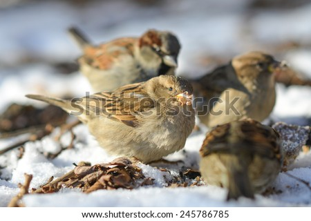 Sparrows eat remnants of a rotten apple in snow - stock photo