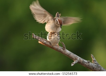 Sparrows mating - stock photo