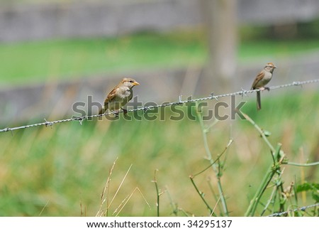 sparrows on the wire - stock photo