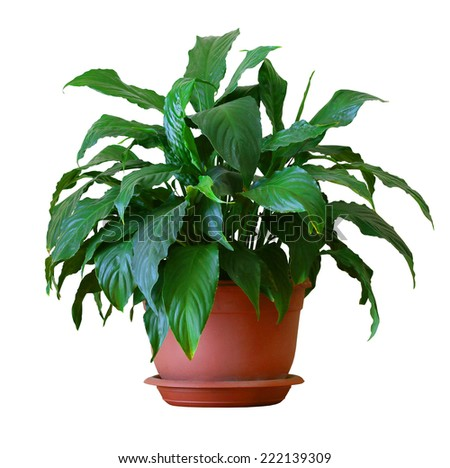 spathiphyllum - stock photo