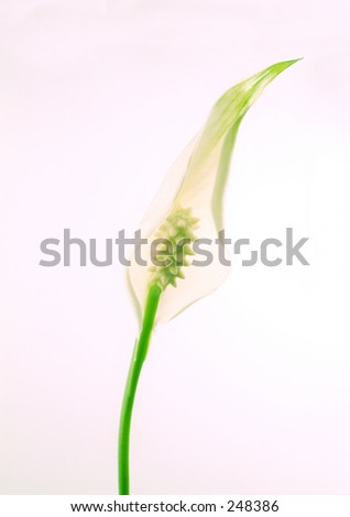 Spathiphyllum Chopin