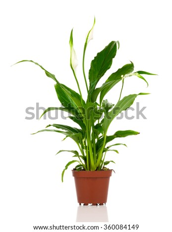 Spathiphyllum flower isolated on white background. Spathiphyllum are commonly known as Spath or peace lilies.