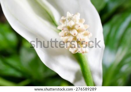 spathiphyllum macro - stock photo