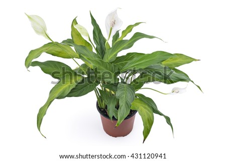 Spathiphyllum plant with flowers in flower pot, isolated on white background. Commonly known as Spath or peace lilies - stock photo
