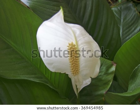 "Spathiphyllum (Spathiphyllum), Flower ""Women's happiness"""