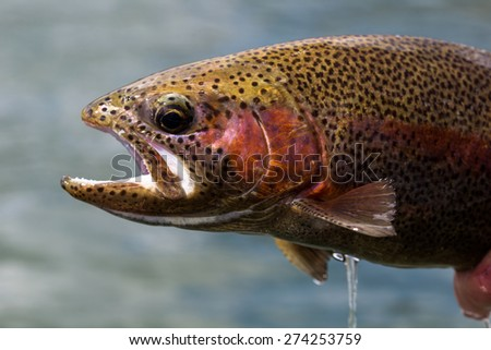 Spawning Rainbow Trout - stock photo