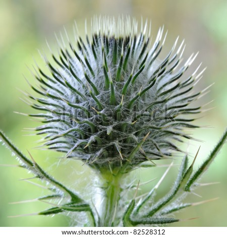 Spear Thistle (Cirsium Vulgare) - Cynareae - stock photo