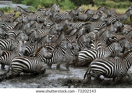 Spearhead of about 10,000 skittish zebras gathering to drink from crocodile-infested river, Serengeti, Tanzania, East Africa - stock photo