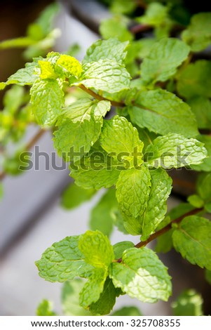 Spearmint leaves (Mentha spicata) - stock photo