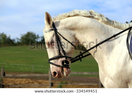 Special blue-eyed gray stallion posing on dressage training - stock photo