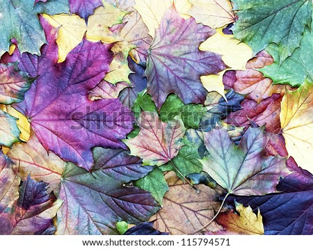 special colored autumn leaves - stock photo