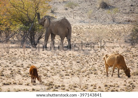 Special limited desert elephant in Africa - stock photo