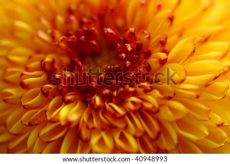 Species of Chrysanthenum (pumpum veriety )