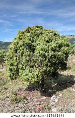 Specimen of Cade tree, Juniperus oxycedrus. It is a species of juniper, native across the Mediterranean region. Photo taken in La Barranca Valley, in Guadarrama Mountains, Madrid, Spain. - stock photo