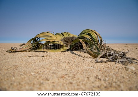 specimen of millenarian plants, Welwitschia Mirabilis, Namibia, Africa - stock photo