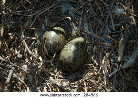 Speckled eggs in nest