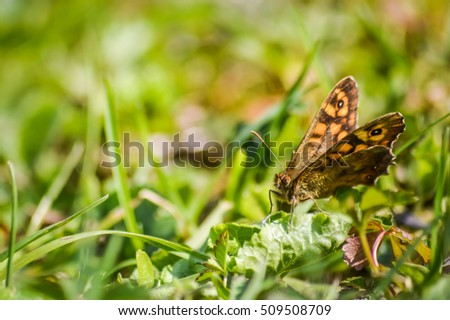 Speckled wood butterfly on the grass (Pararge aegeria) macro