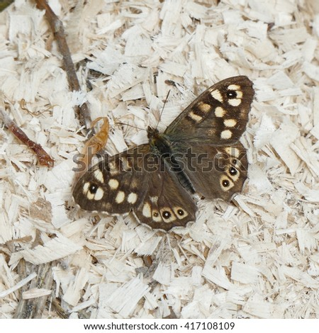 Speckled Wood (Pararge aegeria) butterfly - stock photo