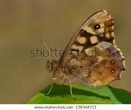 speckled wood profile in dorset wood - stock photo