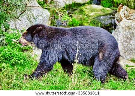 Spectacled Bear in its natural habitat. - stock photo