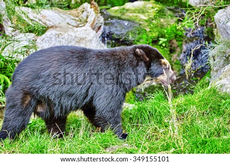 Spectacled Bear in its natural habitat.
