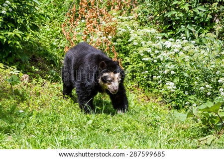 Spectacled bear in Zoo Zurich, Switzerland