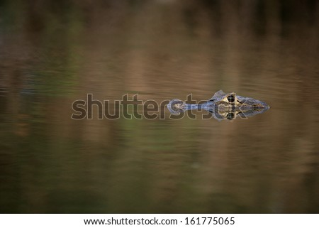Spectacled caiman, Caiman crocodilus, single animal in water, Brazil