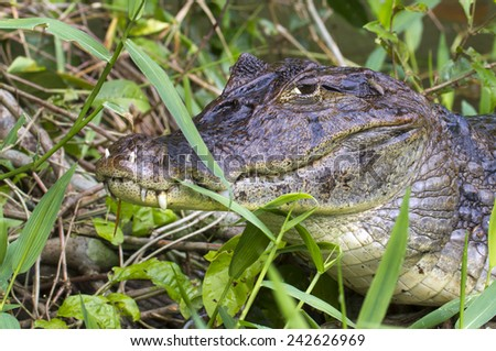 Spectacled caiman (Caiman crocodilus) with teeth growing through lips, hiding in grass on the channel coast, Tortuguero, Costa Rica. - stock photo
