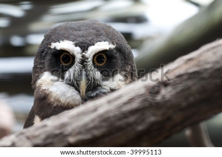 Spectacled owl watching from behind branch - stock photo