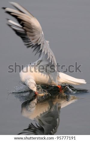 spectacular fishing gull in flight  (Larus ridibundus) - stock photo