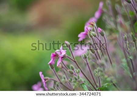 Geranium Maderense Madeira Cranesbill Pink Stock Photos & Geranium ...