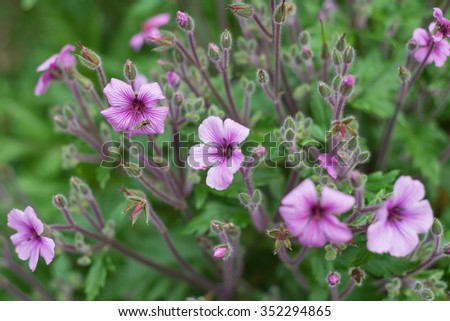 Spectacular Geranium maderense flowering plant - Madeira cranesbill - stock photo