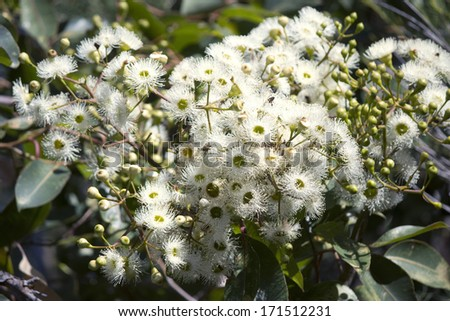 Spectacular large white fragrant flowers summer stock photo royalty spectacular large white fragrant flowers of summer flowering australian eucalypt tree species attract native honey eaters mightylinksfo