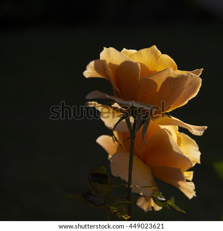 Spectacular perfumed   magnificent  beautiful orange  hybrid tea roses blooming in  late autumn  adds fragrant charm to the garden scape  with  their  lovely form and shape - stock photo