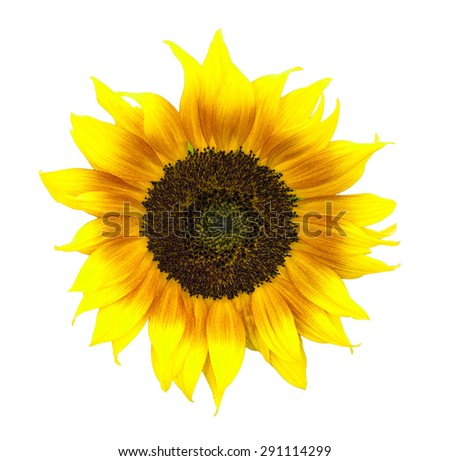 Spectacular sunflower isolated on white - stock photo