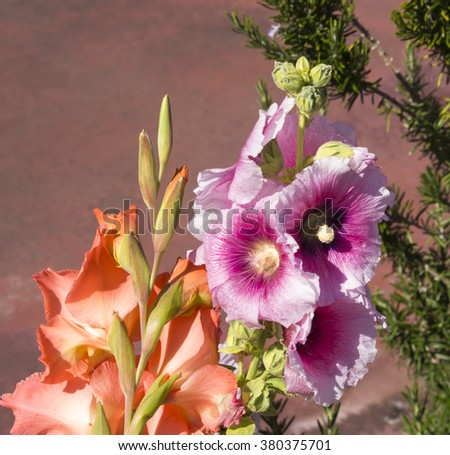 Spectacular tall  deep  pink hollyhock  and orange gladioli flowering in summer adds old cottage garden beauty to an urban landscape  with large  flat petalled blooms. - stock photo