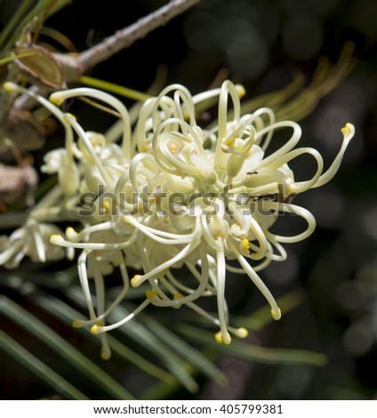 Spectacular  West Australian native wild flower   white grevillea species  cultivar in   early winter   bloom  also attract  birds to the home garden or bush lands. - stock photo