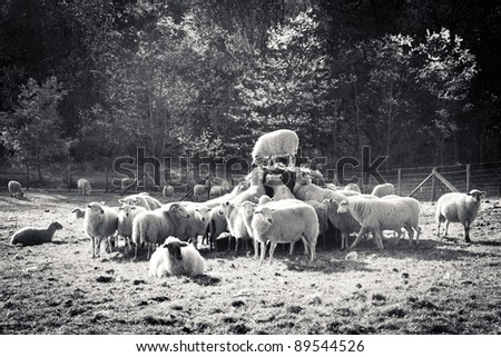 Speech of a sheep - stock photo