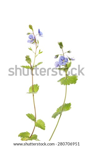 Speedwell ,Veronica chamaedrys, bird's eye or gypsy weed flowers and foliage isolated against white - stock photo