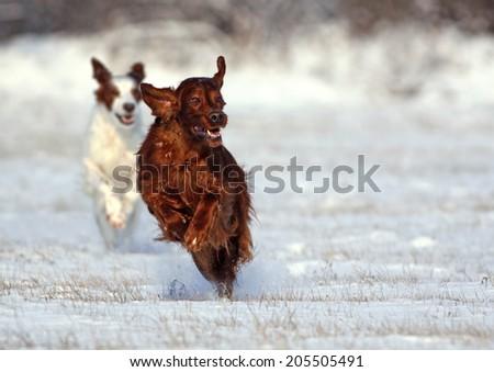 Speedy Irish Setters running in the snow - stock photo