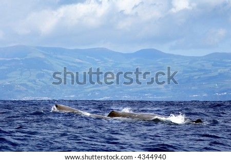 sperm whale at sea/Azores - stock photo