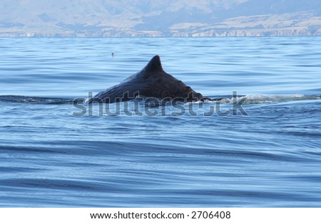 Sperm whale diving, New Zealand - stock photo